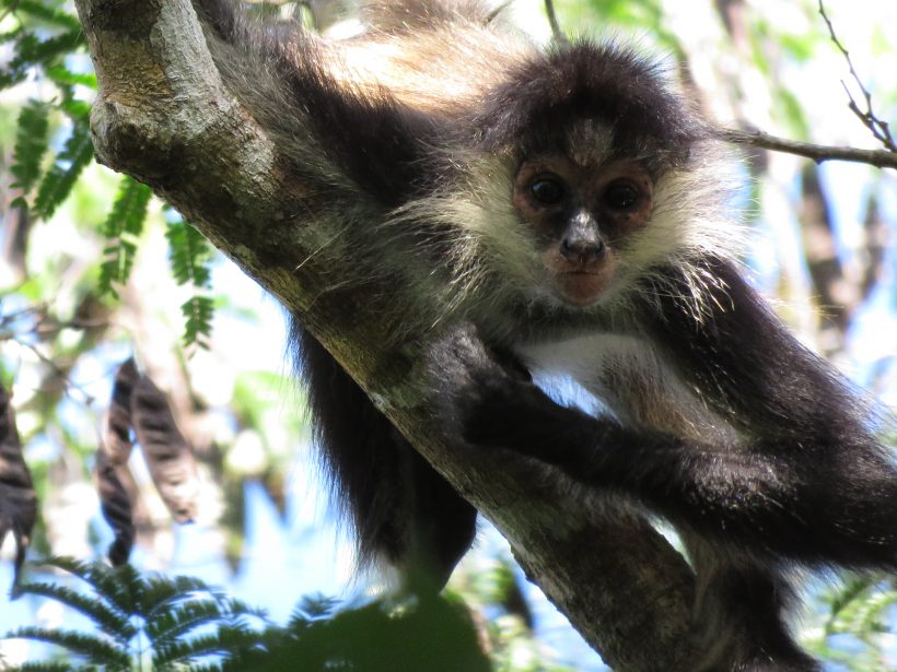 What's happening: Spider monkey study