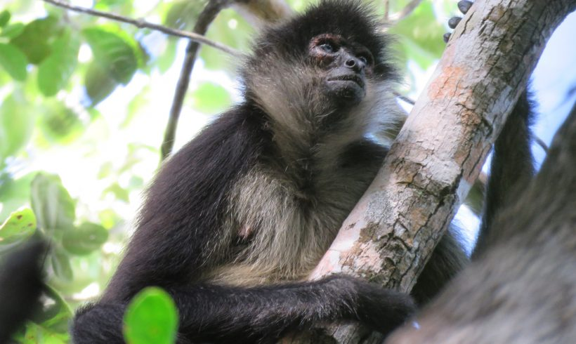 The Los Arboles Spider Monkey Project in 2020