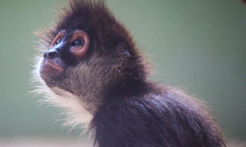 Monkey study update