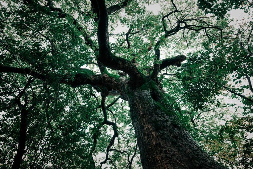 Mayan Trees