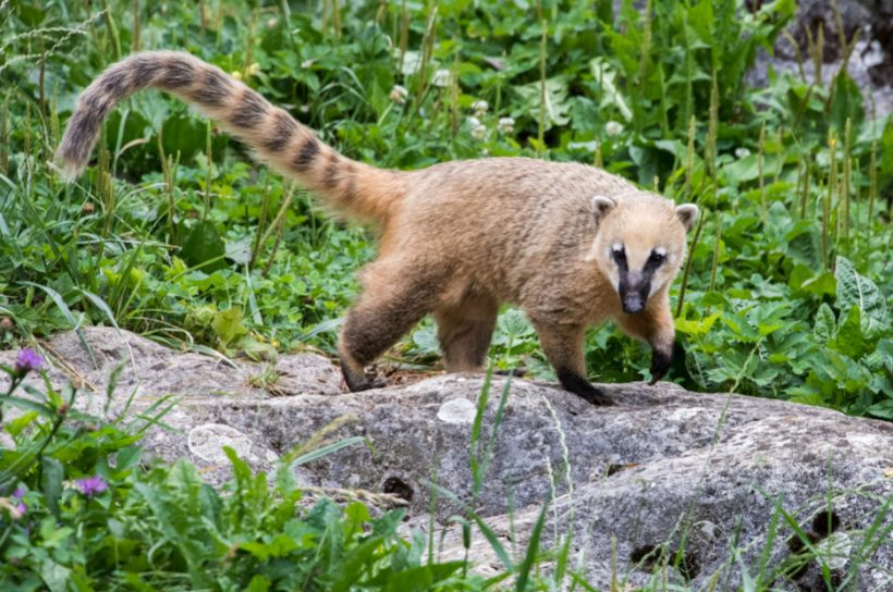 Meet the Coati